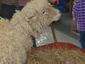 Having a real sheep in the library was an interesting experience!